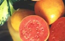 Goiaba- Dieta Com Goiaba Ajuda no Emagrecimento