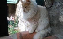 Exposição De Gatos – Raças e Fotos