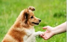 Como Adestrar Cão Em Casa – Dicas
