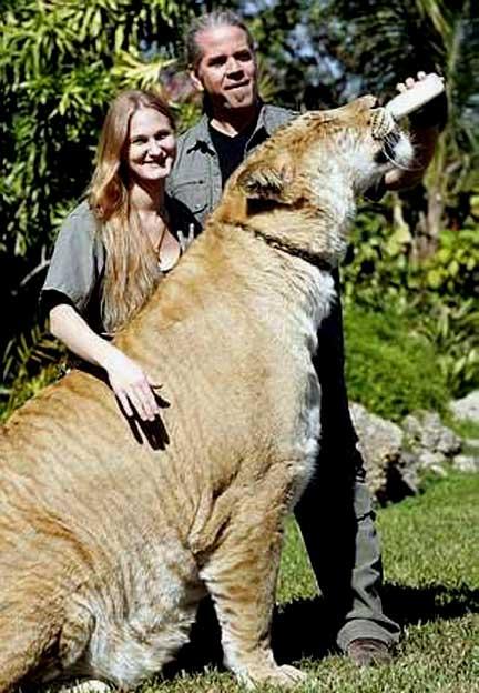 O Maior Leão Do Mundo – Ligre