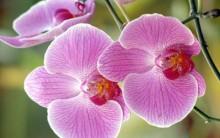 Como cuidar de Orquídeas.