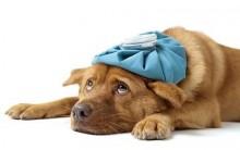 Gripe Canina – Sintomas E Prevenção