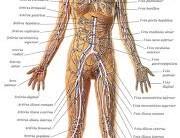 Estudo Sobre O Corpo Humano