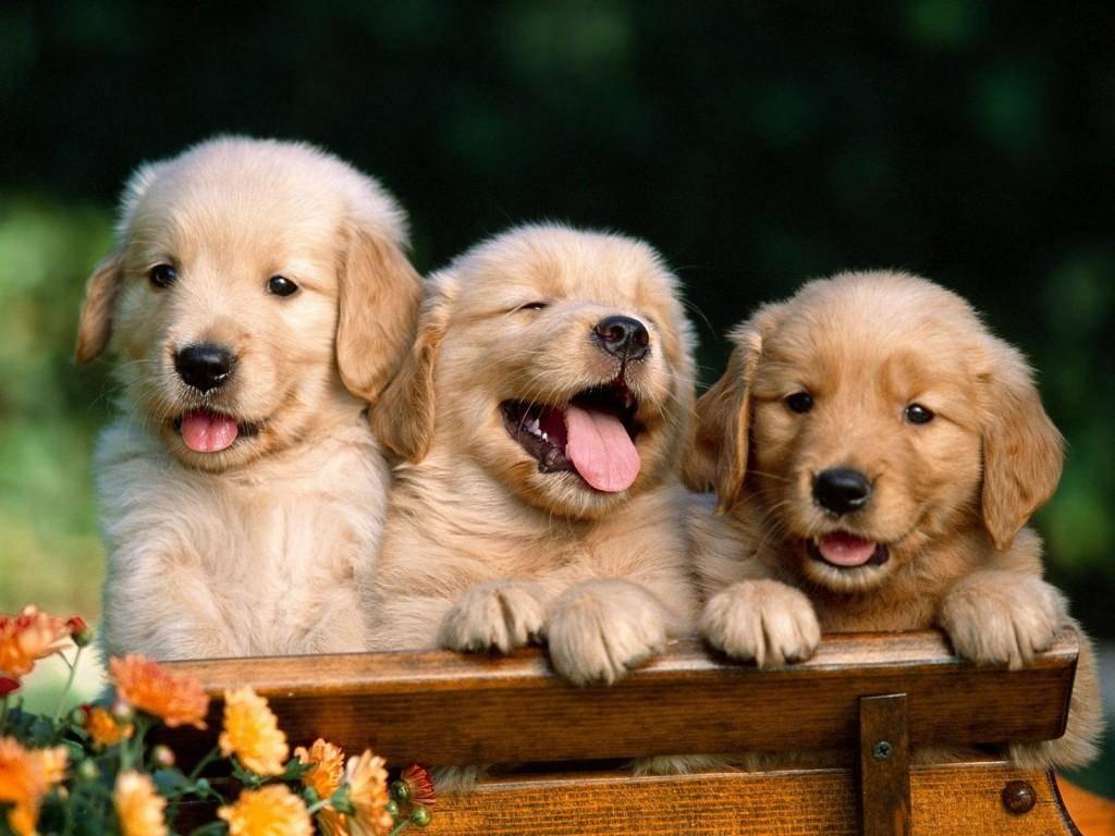 Cachorro Labrador – Fotos e Preços