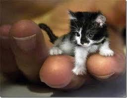 Curiosidade – O Menor Gato do mundo