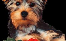 Cachorros York Shire Terrier – Fotos e Preços