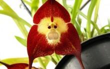 Orquídea Rara com Cara de Macaco Drácula Símia   – Fotos