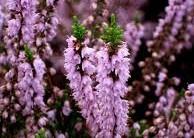 Flores Resistentes ao Clima Seco – Plantas Certas Para Clima Quente