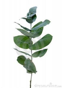 Planta Eucalipto (2)