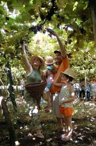 colhendo uva