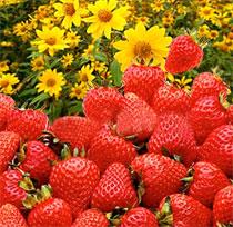 Festa De Flores E Morangos Em Atibaia 2013 – Data Programação E Ingressos