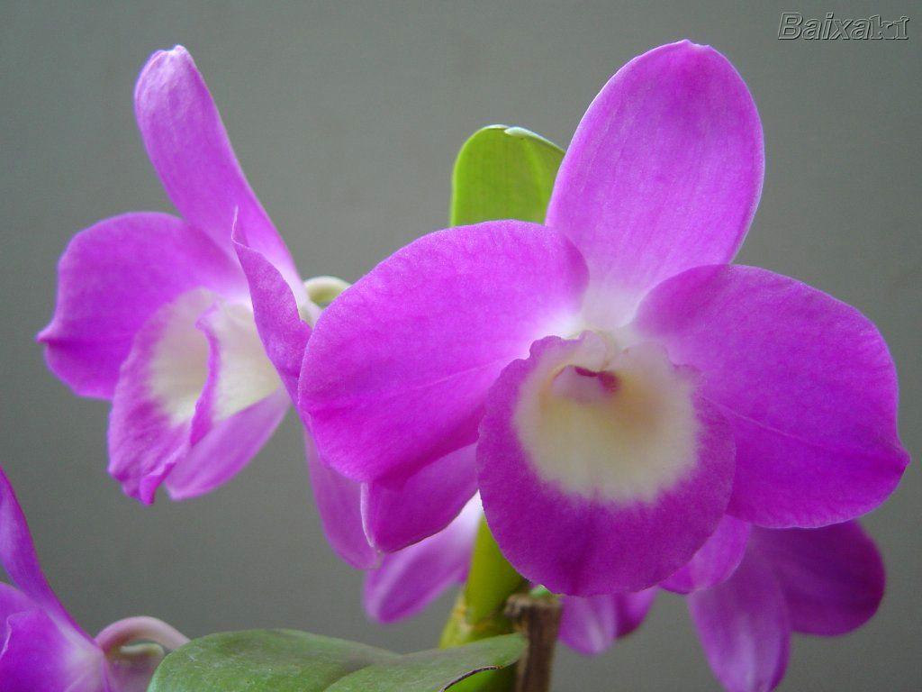 Como Cuidar de Orquídeas – Dicas, Informações