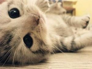 Doenças Transmitidas Pelo Gato – Quais São, Causa, Sintomas (2)
