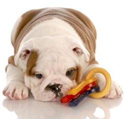 Gravidez-psicológica-em-cães