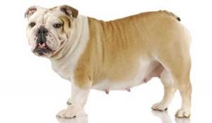 gravidez-psicologica-cadela