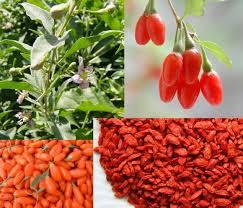 Fruta Goji Berry – Quais os Benefícios Que Ela Traz a Saúde