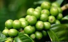 Grãos de Café Verde Ajuda a Emagrecer – Quais os Benefícios que Traz ao Corpo e  Onde Comprar