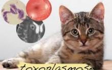 Toxoplasmose – Causas, Quais os Sintomas e Qual o Tratamento