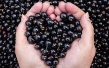 Groselha Negra Para Emagrecer – Qual o Preço e  Onde Comprar