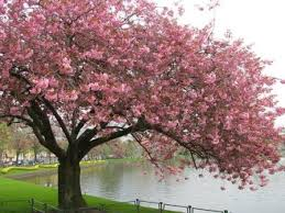 cerejeiras-2014-concurso-parque-do-carmo